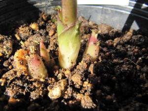 苔の下の新芽