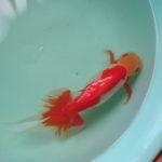 背骨辺りが赤い金魚1