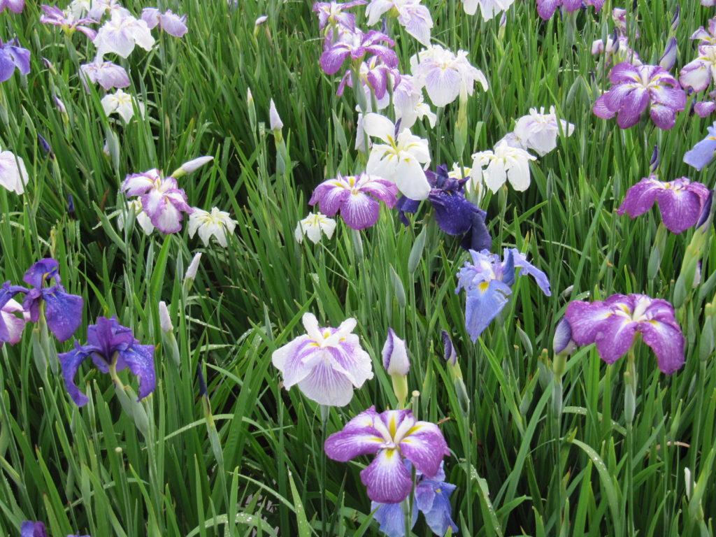 色々な花菖蒲が咲いています