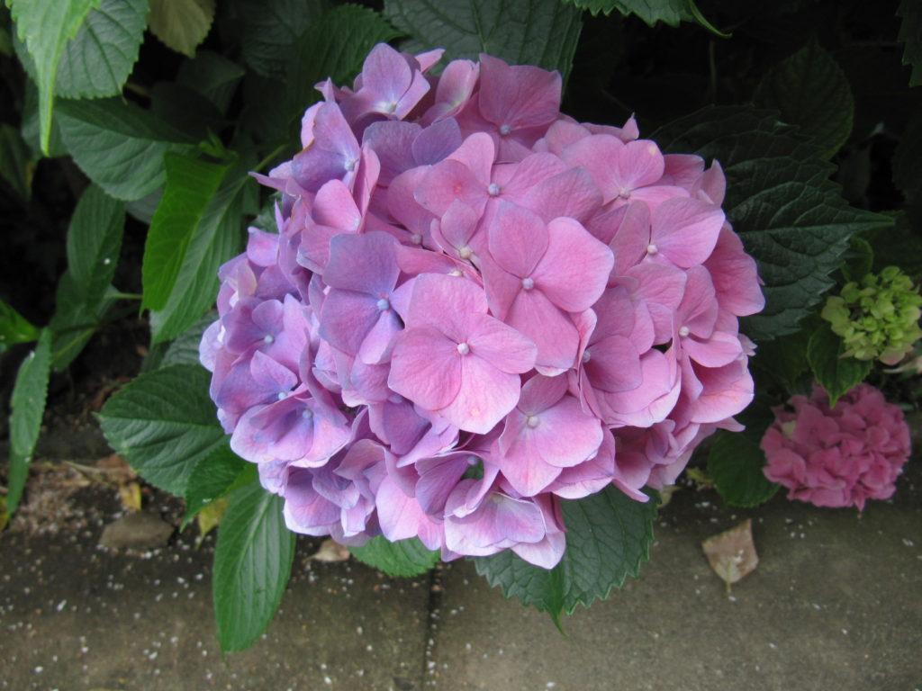 1つの塊の紫陽花で ピンクと紫の分かれ目が分かる ちょっと変わっているかなぁ と思った紫陽花